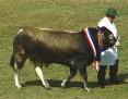 Bazadais Cattle 001