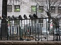 Pigeons in the City.