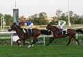ZOUMIR (Dormane x El Ouarda, by Hosni) 2004 bay stallion