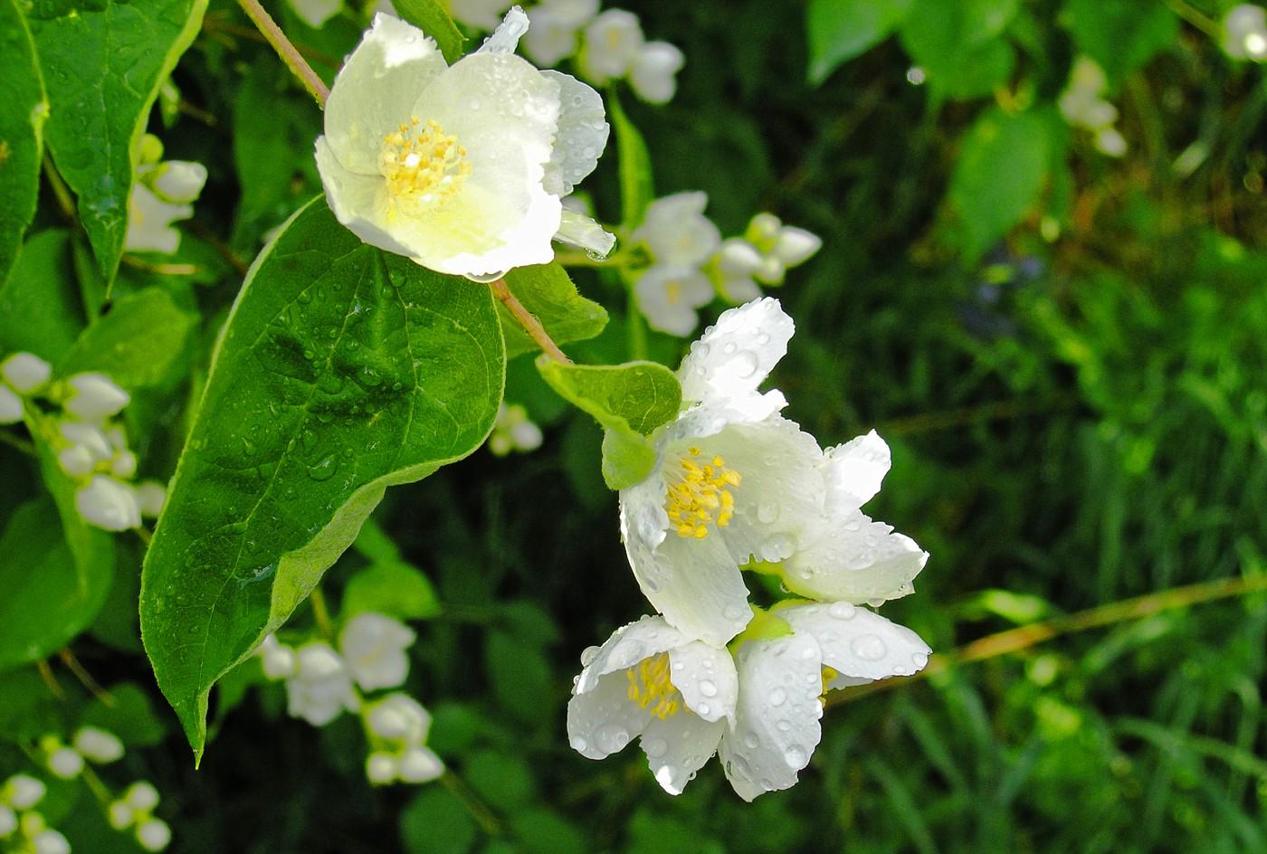 Цветы жасмина фото садовые