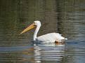Pelican 3