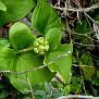 Arisarum vulgare (1)