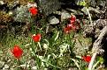 Tulipa agenensis (14)