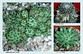Crassulaceae  (2)