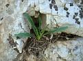 Biarum tenuifolium