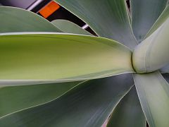 Agave attenuata Mediopicta for some time