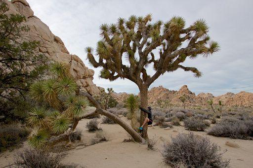 hugging a Joshua tree