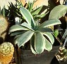 Agave parryii / patonii variegata - Agave cv. 'Merico Nishiki'