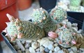 Mammillaria schiedeana ssp giselae