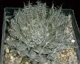Haworthia amethysta -Damplass JDV97-74