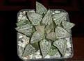 Haworthia picta - Japan cv.
