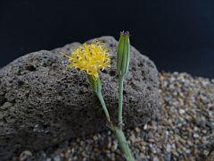Kleinia longiflorus