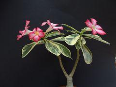 Adenium obesum fa. variegatum