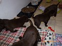 March 18 2012 Callie pups (8)