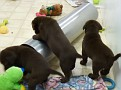March 18 2012 Callie pups (85)