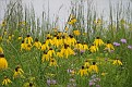 Lakeside Grouping of Black Eyed Susan or Yellow Coneflower