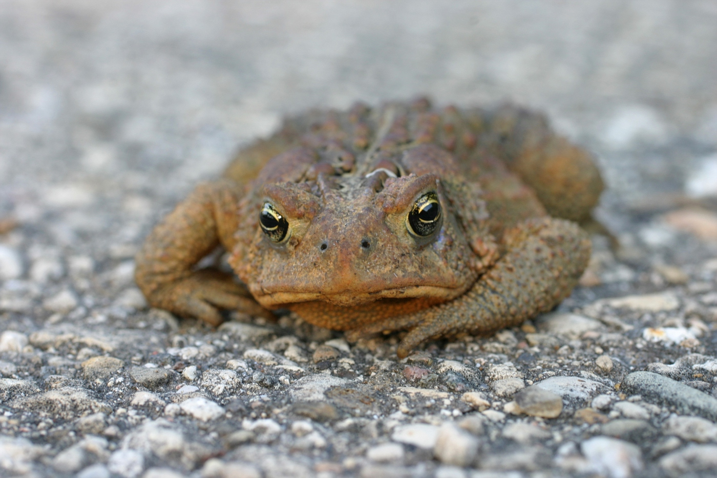 American Toad #2