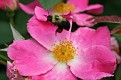 Bumblebee Over Wild Rose