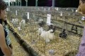 funny chickens in a cage