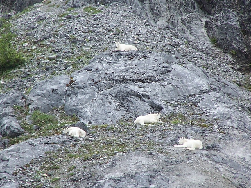Mountain Goats from the tour boat