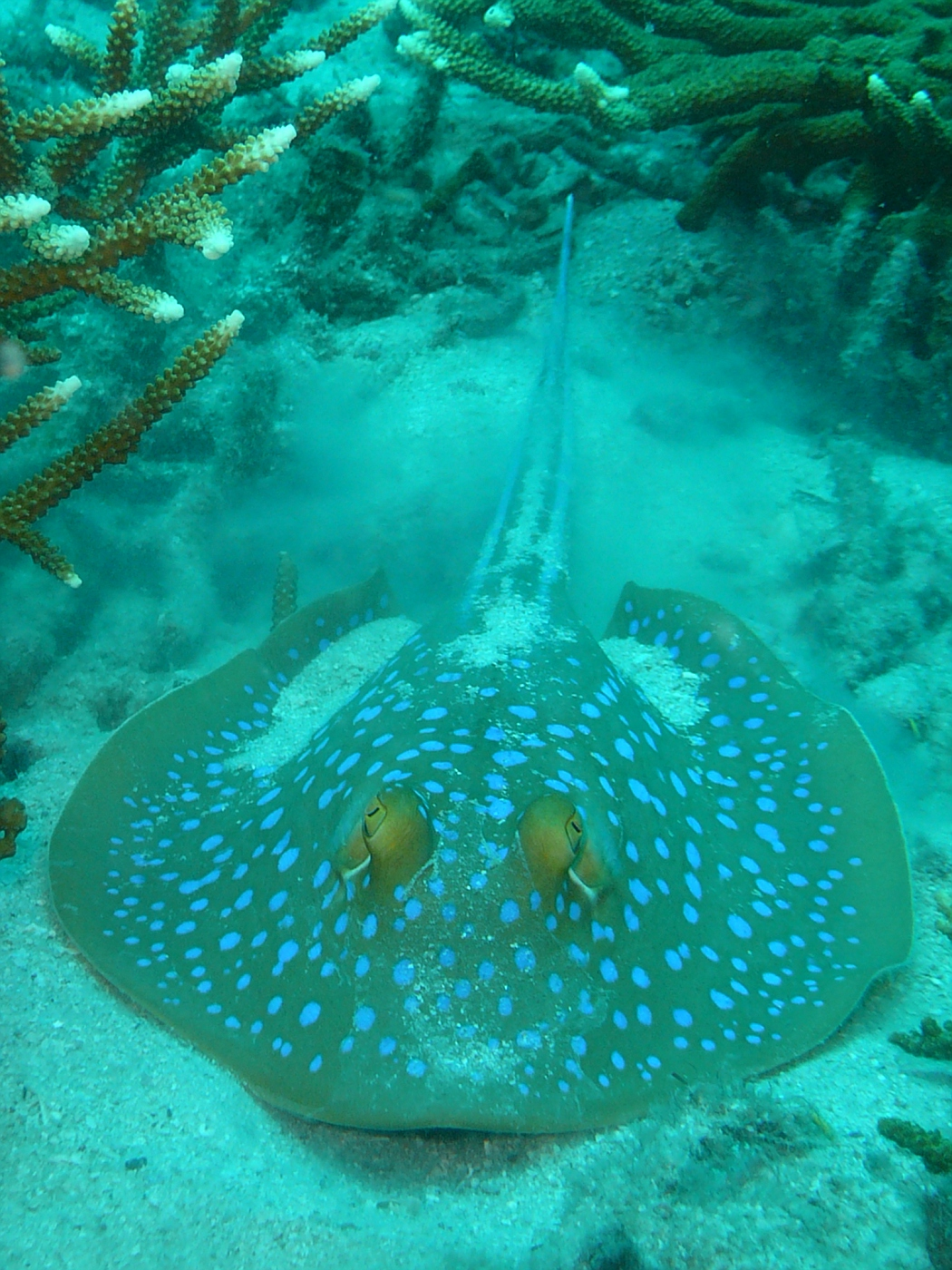 Blue Spotted Eel