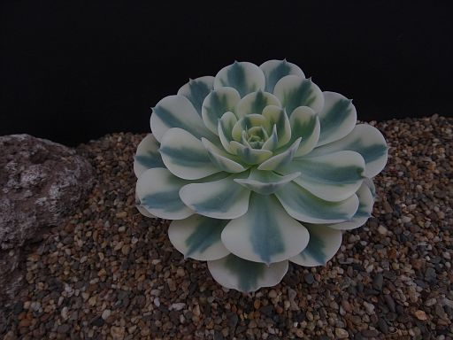Echeveria agavoides Red Form