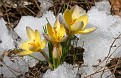 Gold and Purple Snow Crocus