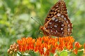 Great Spangled Fritillary #2