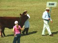 Devons Cattle 001