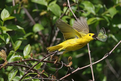 Warbler and Butterfly #3