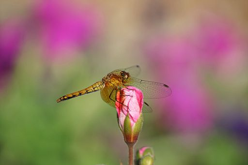 Bandwinged Meadowhawk #11