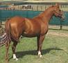 SHALIMAR ASPEN #537334 (Shalimar Rhett x Shalimar Angle) 1996 chestnut mare