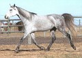 SHALIMAR CARAVAN #497089 (Shalimar Caribou x Shalimar Collette, by Silver-Sp-Winefti) 1993 grey stallion bred by Shalimar Ranch