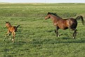 SHALIMAR PIMA ROSE #462735 (Shalimar Pima x Shalimar Roserin) 1990 bay mare