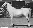 MENFIS #1217 (Egipto x Siria, by Nowyck) 1927 grey mare bred by Marquis de Domecq, Jerez, Spain. Imported to the USA by Jedel Arabian Ranch/ Jim & Edna Draper 1934