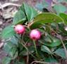 teaberry IMGP5917