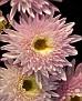 Chrysanthemum KF4