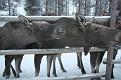 Vittangi Moose Park (15)