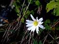Anemone blanda (17)