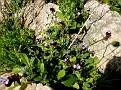 Anchusa variegata (1)