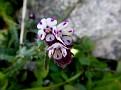 Anchusa variegata (7)