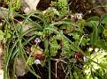 Anchusa variegata  Sedum sp (1)