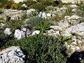 Orchis italica (12)