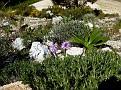 Orchis italica (13)