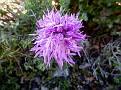 Orchis italica (5)