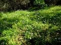 Allium neapolitanum (2)