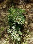 Paeonia mascula (12)