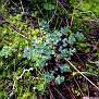 Euphorbia apios (2)