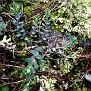 Euphorbia apios (5)
