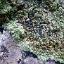 Lichen  (4)